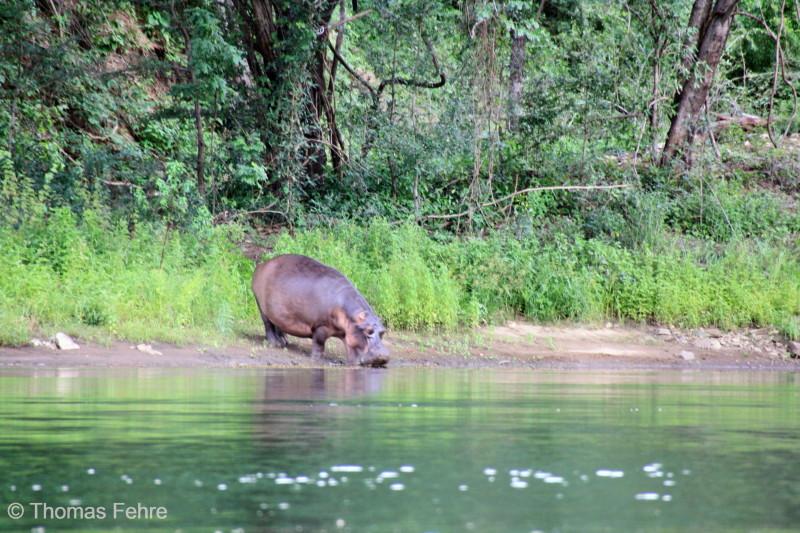Ein junges Flusspferd im Zambezi-Tal, Sambia