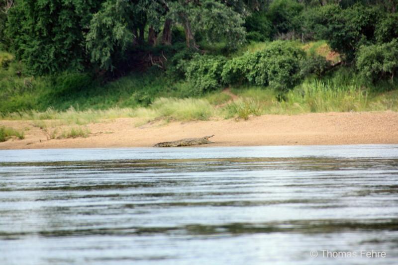 Krokodil am Ufer des Zambezi, Sambia