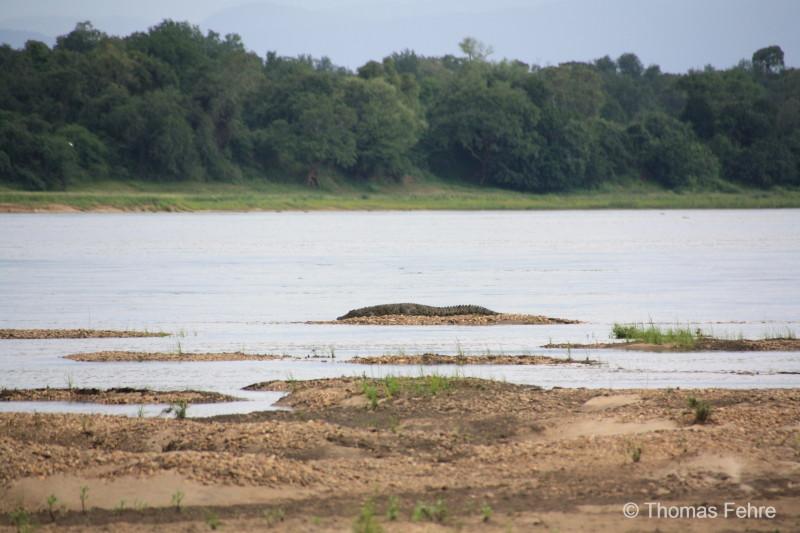 Krokodil auf einer Insel im Zambezi, Sambia