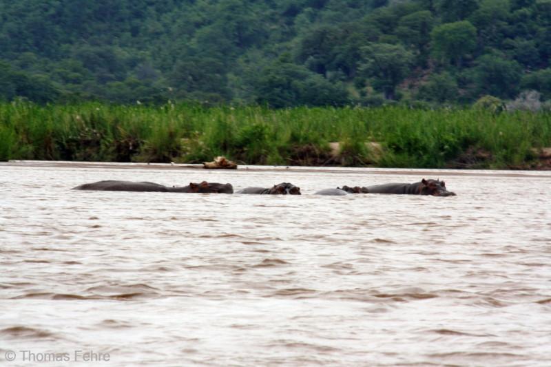 Flusspferde im Zambezi, Sambia