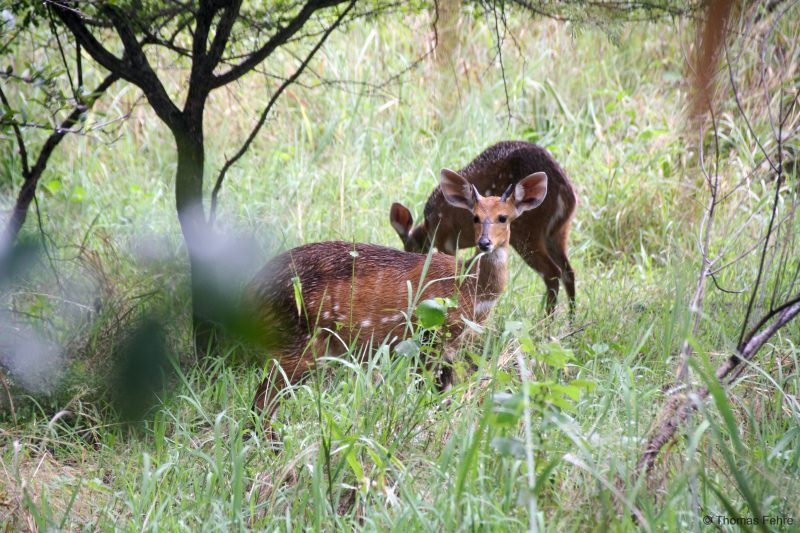 Schirrantilopen bei den Victoria Falls, Simbabwe