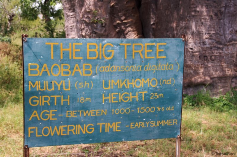 Afrikanischer Affenbrotbaum am Zambezi Drive, Livingstone, Simbabwe