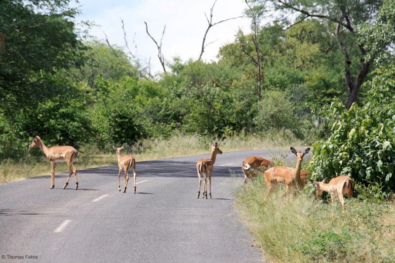 Impalas am Zambezi Drive, Livingstone, Simbabwe