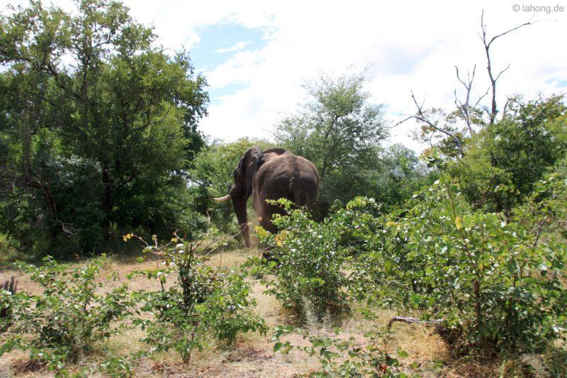 Elefant am Zambezi Drive, Livingstone, Simbabwe