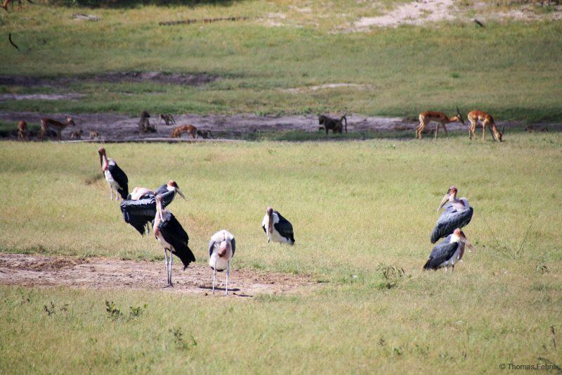 Marabus, Hwange Safari Lodge, Simbabwe