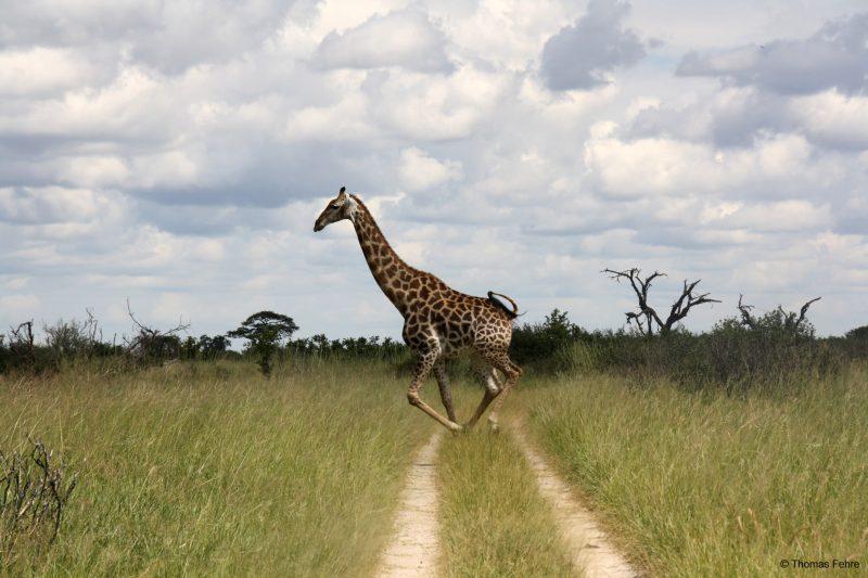 Giraffe im Hwange Nationalpark, Simbabwe