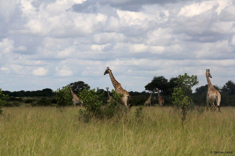 Giraffen-Herde im Hwange Nationalpark, Simbabwe