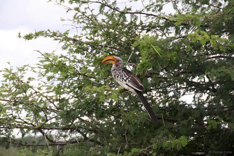 Südlicher Gelbschnabeltoko, Hwange Nationalpark, Simbabwe