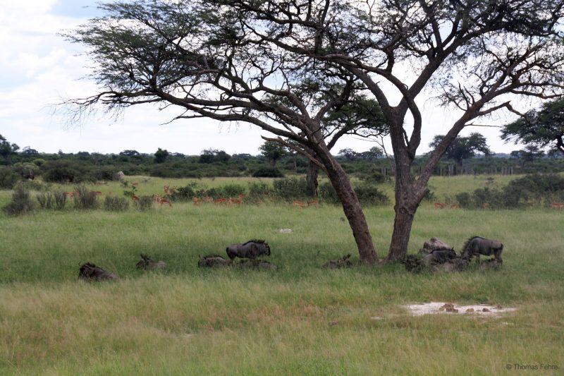 Gnus im Hwange Nationalpark, Simbabwe