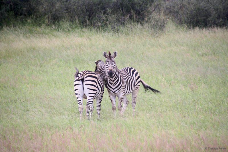 Zebras im Hwange Nationalpark, Simbabwe