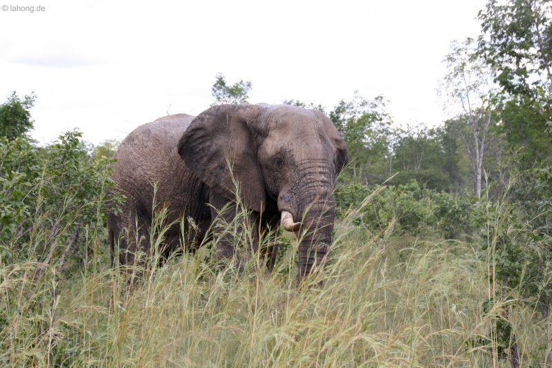 Elefantenbulle im Hwange Nationalpark, Simbabwe