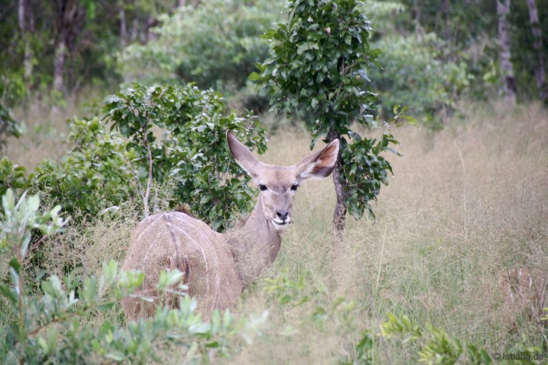 Kudu im Hwange Nationalpark, Simbabwe
