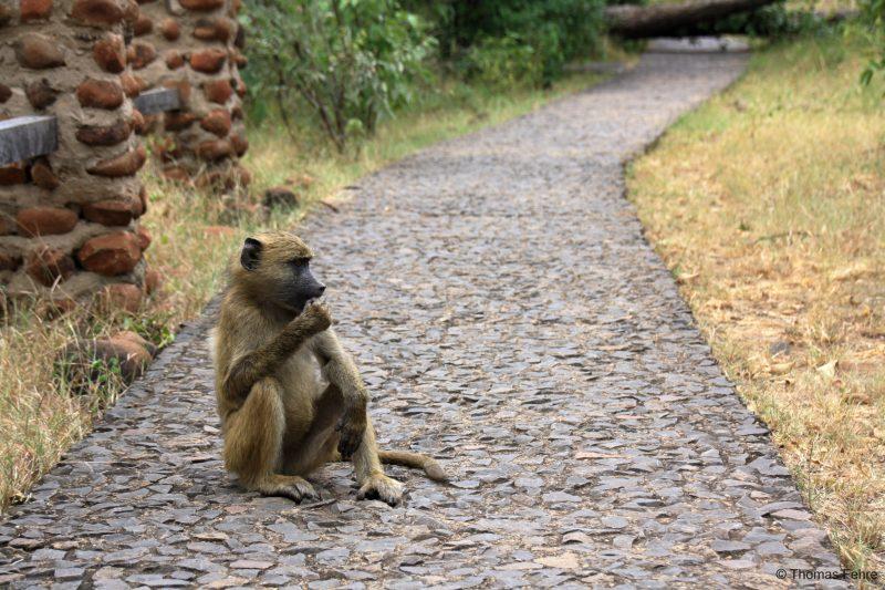 Pavian bei den Victoria Falls, Sambia